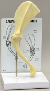 Canine Shoulder Model by GPI Anatomicals