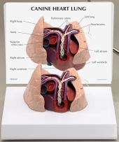 Canine Heart/Lung Model by GPI Anatomicals