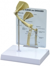 Feline Elbow/Shoulder Model by GPI Anatomical