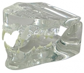 Clear Feline Jaw Model by GPI Anatomicals