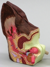 Canine Ear Model by GPI Anatomicals