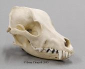 Airedale Dog Skull